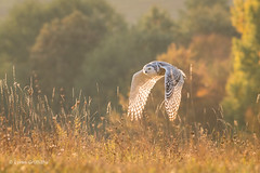 Snowy Owl - Autumn sunrise D85_6055.jpg (Mobile Lynn) Tags: birds snowyowl autumnal owls nature autumn bird fauna strigiformes wildlife nocturnal rimavskásobota banskábystricaregion slovakia sk coth specanimal coth5 ngc