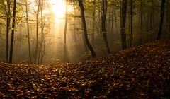 Morning haze (Eifeltopia) Tags: nebelstimmung foggy forest wald sunburst sunbeams nature autumn herbst rheinlandpfalz falschesbiewertal neblig hilly mood autumnleaves composition wavy misty line herbstlich november autumnal sunspots sonnenflecken shiny
