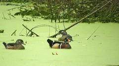 Wood Duck_3752.mp4 (Henryr10) Tags: eastforklake eastforkstatepark bethelohio littlemiamiriverbasin usa stevenewmantrailhead woodduck aixsponsa aix duck avian bird vogel ibon oiseau pasare fågel uccello tékklistar waterfowl wodu