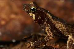Crested toad (Rhinella sp.) (pbertner) Tags: crestedtoad rhinella southamerica colombia rainforest choco jardinbotanicodelpacifico camouflage
