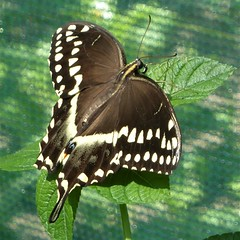 Brookfield, IL, Brookfield Zoo, Butterfly Pavilion, Swallowtail (?) (Mary Warren 11.3+ Million Views) Tags: brookfieldil brookfieldzoo zoo nature fauna flora butterfly swallowtail coth coth5