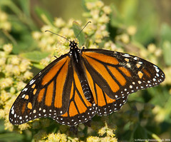 Monarch sunbathing (v4vodka) Tags: monarch monarchbutterfly motyl motylek milkweed commontiger wanderer blackveinedbrown danausplexippus monarchfalter amerikanischemonarch monarcha 君主斑蝶 insect butterfly