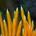 Southern sea fan polyps Sphaerokodisis australis #marineexplorer