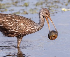 Limpkin with an apple 🐌 (Rickfans76) Tags: limpkin applesnail naturewildlife wildlifephotography rickfanslerphotography nature circlebbarreserve outdoors water birds birding waterbirds birdphotography nikon30028vr nikond500 lakelandfl florida countypark limpkinchick