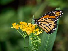 Monarch - EMB66927 (j_m_kubler) Tags: c1 captureonepro olympusem1 olympus12100mmf4 monarch butterfly
