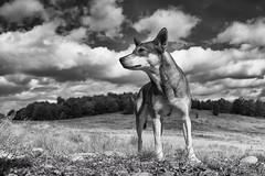 Dog (Kornelson) Tags: dog animal sky cliud clouds straw mountain look watch fuji fujifilm fujinon xt1 xf18135