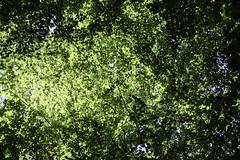 Särö Forest 7 (Mabry Campbell) Tags: europe kungsbacka scandinavia sweden särö forest green image intimatelandscape landscape leaves nature photo f20 mabrycampbell july 2018 july192018 20180719swedencampbelldscf2271 35mm ¹⁄₂₄₀₀sec 200 xf35mmf2rwr