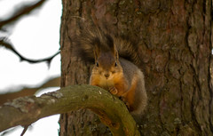 Squirrel (PetuPictures) Tags: finland visitfinland nature wildlife animal animals squirrel tree forest autumn portrait sigma pentax explore planet earth cute