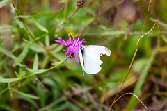 7K8A7608 (rpealit) Tags: scenery wildlife nature weldon brook management area white cabbage butterfly