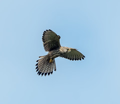 Scilly Kestrel