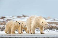 Polar Bear Family Stroll (Glatz Nature Photography) Tags: alaska arctic arcticalaska barterisland glatznaturephotography kaktovik nanook nanuk nanuq nikond850 northamerica polarbear ursusmaritimus wildanimal wildlife