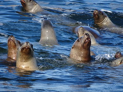 Close up of Steller Sea Lions (Eumetopias jubatus), Clayoquot Sound, BC, Canada (+4) (peggyhr) Tags: peggyhr stellersealions dsc07166 clayoquotsound bc canada eumetopiasjubatus carolinasfarmfriends rainbowofnaturelevel1red level1pfr rainbowofnaturelevel2orange rainbowofnaturelevel3yellow super~sixbronze☆stage1☆ 50faves