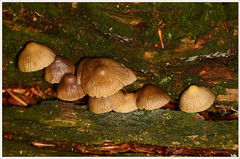 burgrundydrop bonnet (2) (bobspicturebox) Tags: mushrooms horse head backbone honeycomb cep penny bun fly agaric blusher brittle stem false death cap knight deceiver russula forest scenes hampshire