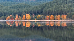 Band of Gold (captures.in.time) Tags: landscape loch lochmorlich morlich cairngorms lake trees pines autumn gold brown landscapephotography nationalpark ngm ngc reflections reflect morning scotland europe world silent still fredapayne