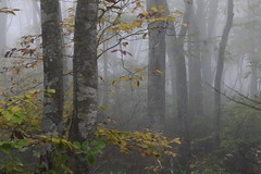 Misty Forest (seiji2012) Tags: 裏磐梯 福島県 林 霧 紅葉 forest drizzle mist fukushima foliage leaves autumn fall