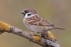 Passera Mattugia (Marcello Giardinazzo) Tags: passeramattugia avifauna uccelli birds bird sparrow ntura wild