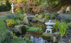Autumn in the Japanese Garden (Kingsley_Allison) Tags: japaneseacer japanese gardens harrogate historical valley valleygardens nikon northyorkshire nikond7200 flowers acers autumn autumncolours