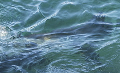 Royal Natio Great White1 (barryhatton33) Tags: great white shark feeding ocean national royal park barry hatton eating sei whale dead