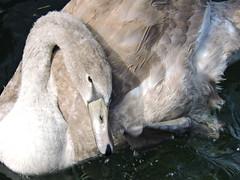 DSCN4867 (keepps) Tags: switzerland suisse schweiz vaud montreux fall autumn bird swan