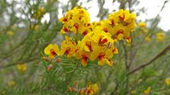 Dillwynia retorta (Tony Markham) Tags: dillwyniaretorta fabaceae faboideae oxyopes sp lynxspider mermaidspool bargoriver oxyopidae pea spider arachnid plant shrub flower