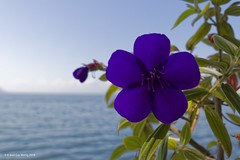 The flower and the lake (Sh1nji) Tags: switzerland suisse lac lake léman lausanne blue canon 80d 2018 sh1nji 5h1nji flower purple violet green vert flore plante