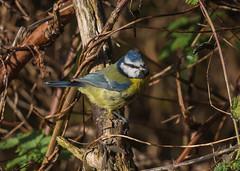 Buke Tit (  Cyanistes caeruleus ) (Dale Ayres) Tags: bule tit cyanistes caeruleus bird nature wildlife