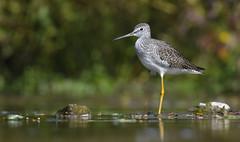 Beauty in the Marsh (hd.niel) Tags: greateryellowlegs marsh stream nature vegetation autumn photography shorebirds ontatio wildlife nikon pov