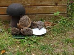Hedgehog family (Tabea-Jane) Tags: hedgehogs mother childs kids eating grass garden family igel mutter kinder essen gras garten natur nature