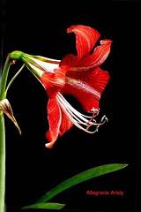 Lirio/Lily (Altagracia Aristy Sánchez) Tags: lirio lily laromana repúblicadominicana dominicanrepublic caribbean caraibbi antillas antilles trópico tropic américa fujifilmfinepixhs10 fujifinepixhs10 altagraciaaristy fondonegro fujihs10 sfondonero blackbackground caribe flor flower quisqueya lirios amaryllishippeastrum