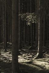 Straight (arkland_swe) Tags: sletås falkattack treetrunk skog gran spruce träd forest