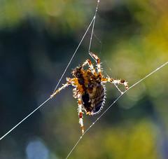 A Backlit Spider (autumnhillswoollens685) Tags: spider spiderweb backlit backlighted arachnid bugs willapahillstrail westernwashingtonfauna pacificnorthwest photoshop d800fx nikon35mmafsf18