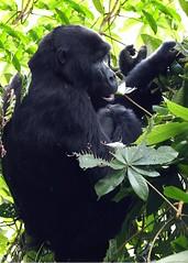 Mountain gorilla juvenile (Carol Griffiths) Tags: uganda gorilla wildlife safari