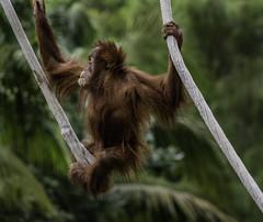 Hangin' In There (Bill Gracey 24 Million Views) Tags: orangutan sandiegozoo hanging young playful nature naturalbeauty animal animalphotography appealing cute aisha