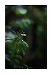 2018/9/7 - 14/15 photo by shin ikegami. - SONY ILCE‑7M2 / 七工匠  7artisans 50mm f1.1 (shin ikegami) Tags: macro マクロ 紫陽花 flower 花 井の頭公園 吉祥寺 summer 夏 asia sony ilce7m2 sonyilce7m2 a7ii 50mm 七工匠 7artisans 7artisans50mmf11 tokyo photo photographer 単焦点 iso800 ndfilter light shadow 自然 nature 玉ボケ bokeh depthoffield naturephotography art photography japan earth