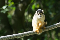 Doodhoofdaap - Squirrel monkey (Den Batter) Tags: nikon d7200 zooparc overloon doodhoofdaap squirrelmonkey samiri
