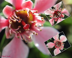 Leptospermum flower (aka Tea Tree) (Aussie~mobs) Tags: leptospermum flower macro pink stamen queensland australia leptospermumscoparium teatree aussiemobs