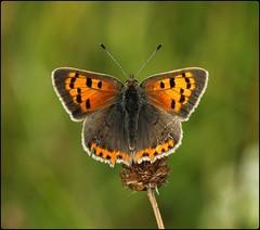 Small Copper basking II - Prestbury Hill (glostopcat) Tags: smallcopperbutterfly butterfly insect invertebrate macro august summer glos butterflyconservation prestburyhillnaturereserve