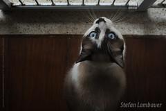 Anakin (Stefan Lambauer) Tags: gato cat eyes stefanlambauer santos 2018 brasil brazil sãopaulo br