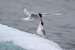 Food exchange - Explore (alicecahill) Tags: arctic svalbard norway tern parent ©alicecahill baby arctictern scandinavia animal origoexpedition feeding travel bird chick europe ice