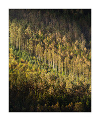A Thousand Trees (Dave Fieldhouse Photography) Tags: appicoftheweek forest woodland trees firs wales snowdonia telephoto autumn morning lightandshade detail fujixpro2 fujifilm fuji light countryside gwynedd llyncwellyn