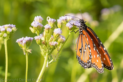 20181007-_E1A8427 (Denver Kramer) Tags: animals canon100400mmll canon7dll clearcreek denton denverkramerphotography monarch texas butterflies wildlife