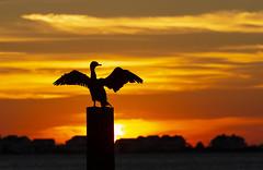 "Rising with the sun (5'20"") Tags: cormorant birds silhouette wildlife nature sunrise orange nc outerbanks"