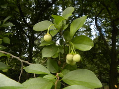 Styrax japonica (MadKnits) Tags: green plants growing fall morrisarboretum