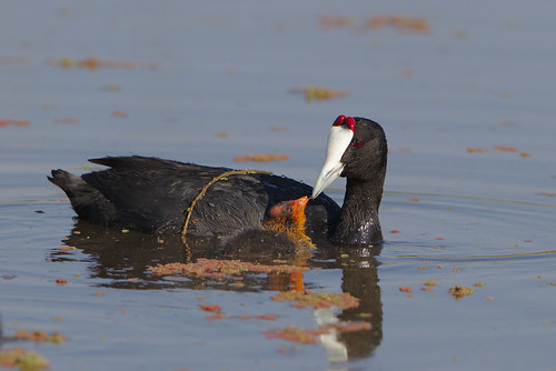 """Red-knobbed Coot (or Crested Coot), with young,  at Marievale Nature Reserve, Gauteng, South Africa • <a style=""""font-size:0.8em;"""" href=""""http://www.flickr.com/photos/93242958@N00/44504920334/"""" target=""""_blank"""">View on Flickr</a>"""