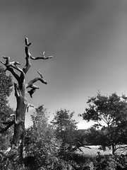 Why are the vultures gone ? (marc.barrot) Tags: park bw uk nw3 london heath hampstead stump tree dead monochrome shotoniphone