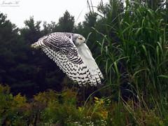 Robert Snowy Owl CRC IMG_5531 (Jennz World) Tags: ©jennifermlivick canadianraptorconservancy vittoria ontario canada raptors raptor bird snowyowl owl