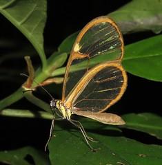 Episcada hymenaea (Birdernaturalist) Tags: bolivia butterfly danainae ithomiini lepidoptera nymphalidae richhoyer