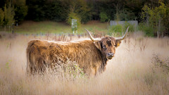 Hairy Highlander (Jez22) Tags: cattle cow animal nature mammal farm livestock field meadow brown highland grass pasture landscape rural scottish countryside grazing hair bovine horns horned hairy breed kent england cute eventoedungulate photo copyright jeremysage