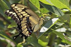 Mariposa Limonera Grande (Florián Paucke) Tags: mariposas lepidóptero butterflie butterfly insecto amarillo ecología biología cienciasnaturales ciencia medioambiente macrofotografía farfalle árbol borboletta