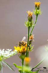 Abeille Européenne - Apis mellifera (Aimeric3) Tags: faune flore paysage animaux animal sauvage nature plante herbe